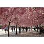 50 Semillas De Árbol De Flor De Primavera Hermoso
