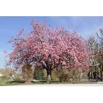 Cerezo Japones Prunus Serrulata Semillas Exoticas