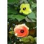 30 Semillas Del Arbol Arcoiris (hibiscus Tiliaceus)