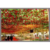 Semillas De Arbol De Tomate Italiano Exoticos Frutos