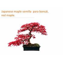 25 Semillas Maple Japones Acer Palmatum