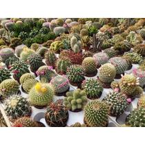 10 Semillas De Cactus Variados