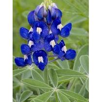 Texas Blue Bonnet 10 Semillas Flores Jardín Planta Sdqro
