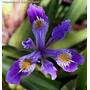 Iris Azul 6 Semillas Flor Jardín Planta Bulbos Sdqro
