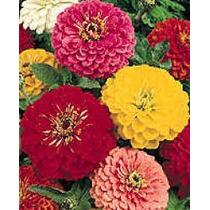 Zinnia Elegans Mix 10 Semillas Flores Multicolor Mpsdqro