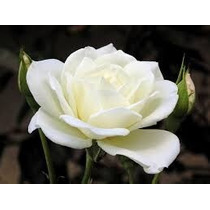 Rosa Común Blanca 10 Semillas Solo Mercadopago Mppdqro