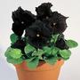 Pensamiento Negro 8 Semillas Flores Planta Sdqro