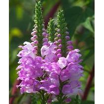 Obedient Plant 6 Semillas Flor Jardín Maceta Mpsdqro