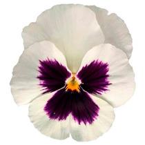 Pensamiento Blanco 8 Semillas Flor Media Sombra Mpsdqro