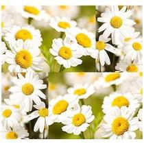 30 Semillas Daisy Piretro Matar Insectos Insectos ~ Natural