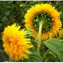 40 Semillas Sunflower Teddy Girasol Helianthus Annuus Flores