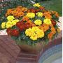 25 Semillas Marigold Fancy Mix Plaga Flores Jardines Plantas