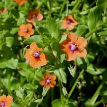 Anagalis Arvensis 20 Semillas Flores Rastrera Planta Sdqro