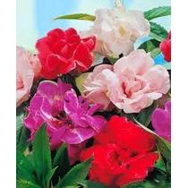 Balsamina Mix 10 Semillas Flor Planta Jardín Maceta Mpsdqro