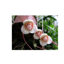 Semillas Orquidea Cara De Mono Y Semillas Rosal Trepador