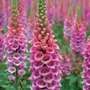 Digitalis O Dedalera 40 Semillas Jardín Flores Planta Sdqro