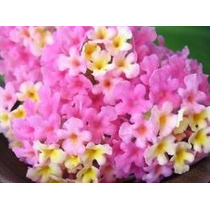 Lantana Rosa 8 Semillas Flor Jardin Planta Maceta Mpsdqro