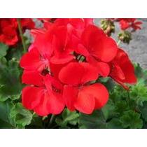 Geranio Rojo 8 Semillas Jardín Flores Planta Sdqro