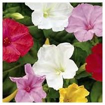 Mirabilis Jalapa Mix Color 6 Semillas Flor Jardín Sdqro