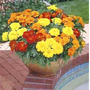 25 Semillas Marigold Mix Plaga Flores Jardin + 25 Sem Flores
