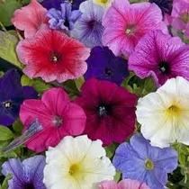 Petunias Variadas 30 Semillas Solo Con Mercadopago Mpsdqro