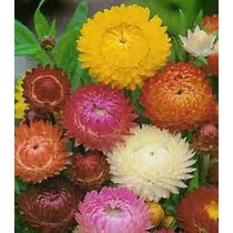 Siempre-viva Flor De Paple 20 Semillas Flores Planta Sdqro