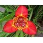 Tigridia Naranja 10 Semillas Flores Planta Sdqro