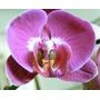 20 Semillas De Orquidea Phalaenopsis