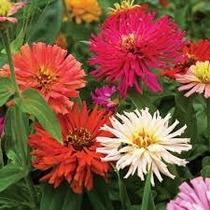 40 Semillas Cactus Flower Zinnia Elegans Annual Flor Jardin