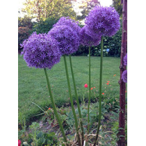Semillas Allium