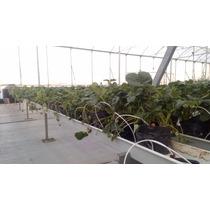 Plantas De Fresa Cantidad De 30 Envío Gratis