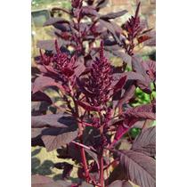 50 Semillas Amaranto Rojo Comestible Plantas Huerto Jardin