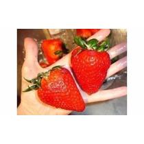 100 Semillas Fresa Gigante Organica + 50 Semill Envio Gratis