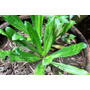 +10 Semillas Perejil Eryngium Foetidum Medicinal Exoticas