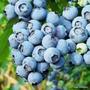 Semillas De Blue Berry Exoticas Frutos Jardin