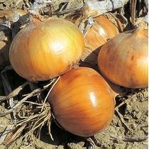 10 Gramos Semillas De Cebolla Amarilla Early Texas Grano 502