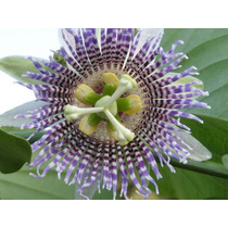 40 Semillas De Passiflora Ligularis Granadilla Granada China