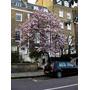Semillas De Magnolia Soulangeana (magnolio Chino) Codigo 816