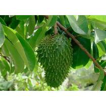 12 Semillas De Annona Muriacata (guanabana) Codigo 996
