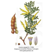 10 Semillas De Acacia Senegal - Acacia De Arabia Codigo 845