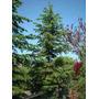 15 Semillas De Picea Jezoensis - Falso Abeto De Siberia