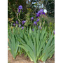 26 Semillas De Iris Germanica - Iris O Lirio Codigo 580