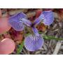 Semillas De Iris Setosa - Iris Enana O Artic Codigo 575