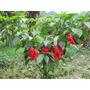 12 Semillas Chile Bhut Jolokia Rojo Super Picante