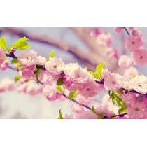 Semillas De Cerezo Japones