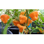 20 Semillas Jamaican Hot Yellow Chile Picante Ornamental