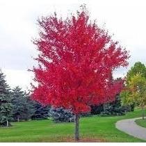 Semillas De Arbol De Maple Rojo