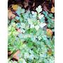 1 Lb. Semillas Petroselinum Crispum -perejil $220 Cod 211-a