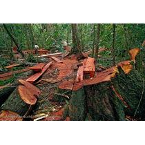 30 Semillas Cedro Rojo Tropical Cedrela Odorata Reforesta Oh