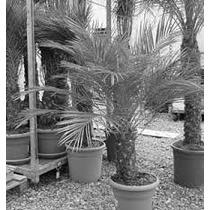 1 Palma Robelina (phoenix Roebelenii) Para Decorar O Jardin